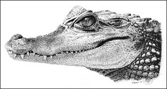 Young Caiman (pbradyart) Tags: portrait bw art pen ink sketch artwork drawing caiman penandink pointillism aworkofart worldofanimals reptiledrawing caimandrawing