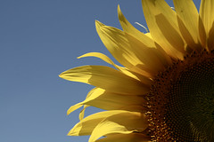 (iFhe) Tags: summer flower sunflower fhe federicaceccotti