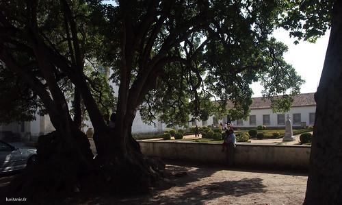Os jardins da Quinta da Vista Alegre são magníficos, com esta árvore sem duvida várias vezes centenária.