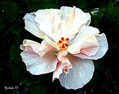 Today's hibiscus (*Amanda Richards) Tags: pink red flower macro green yellow guyana georgetown hibiscus picnik sttheresaschurch