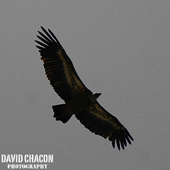Looking for the prey (DavidChacon ) Tags: bird nature animal wings spain nikon nikond70s alas prey vulture pajaro bolonia tarifa buitre leonado davidchacon davidchaconphotos davidchaconphotography