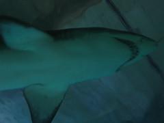 Oceanographic #6 (Lady Blackice) Tags: ocean trip travel sea vacation valencia canon shark mar spain europe mare acquarium ciudad arti artes viaggio acquario spagna città ciencias ciudaddelasartesylasciencias scienze squalo oceanographic valenzia canonpowershotg5