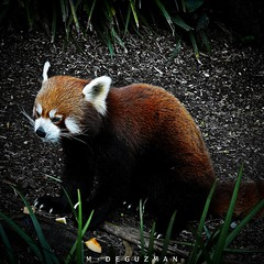 Firefox (mdeguzman) Tags: firefox fuji sydney australia redpanda finepix nsw newsouthwales fujifilm taronga tarongazoo ailurusfulgens lesserpanda markdeguzman s1000fd mdeguzman
