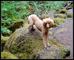 How long do I have to stand like this? (picma) Tags: stella oregon trail spoo mthood standardpoodle sickofmeposingher