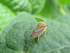 Candy-striped leaf hopper (Ransomed63) Tags: macro insects bugs leafhopper naturethroughthelens