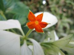musenda (murky972) Tags: flower fleur flora martinique antilles caribean martinica carabes 972 madinina carabe