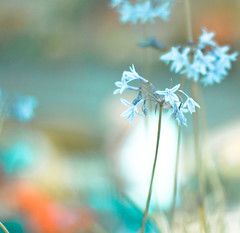 funny how it seems... (harold.lloyd) Tags: blue white flower canon bokeh awesome blossoms blob hmb 50mmf14usm bokehlicious rawwrr mmmyay preperatory mondayisnotblue dheml happymondyay photomograph ilikethatblob didimentionthebokeh itmightbetodaythough notsurewhyjustafeelingihave