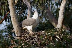 Female On Nest, 9th August (Calidris!) Tags: nest eagle sydney australia nsw eagles homebush nesting seaeagle sydneyolympicpark homebushbay seaeagles whitebelliedseaeagle haliaeetusleucogaster