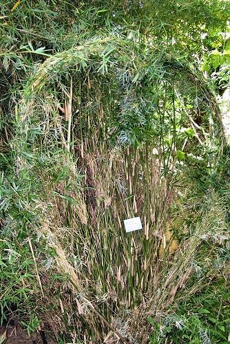 Pseudosasa japonica (rq) - 01