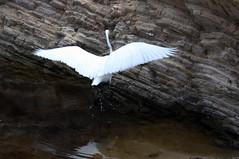 white egret (jcastle321) Tags: gaviota