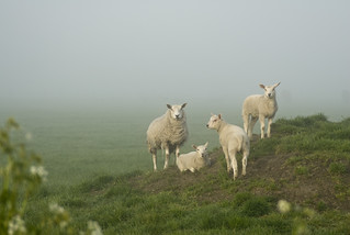 Sheep in the mist...
