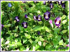 Torenia fournieri (Wishbone Flower, Bluewings), in our garden