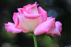 Oooh, Mama!!! (Mona Hura) Tags: pink flower green rose garden landscape petals blossom alabama petal bloom theodore 5901