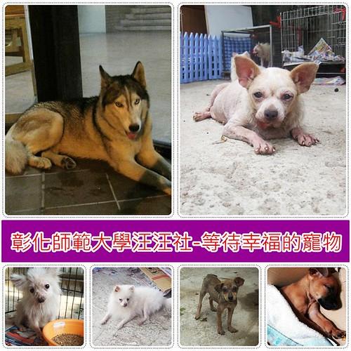 20091011「認養-推」彰師大汪汪社的狗狗在找家~哈士奇、小土狗仔、博美、吉娃娃、米克斯...等等