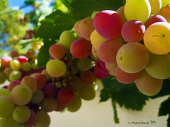 Grape (Vasilis Mantas) Tags: red green fruits yellow island olympus greece grape thasos explored   ysplix   kazaviti  700   vmantas   vmantasphotography