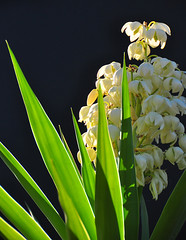 Yucca in Flower (Bill Gracey) Tags: cactus flower nature highcontrast yucca backlighting lacklit