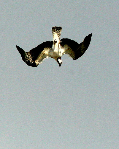 Osprey Diving 20091028