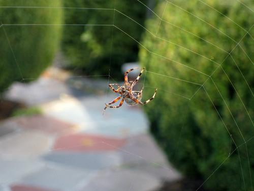 Halloween spider?