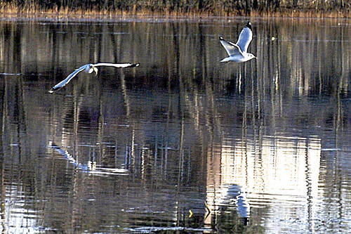 mirrored gulls