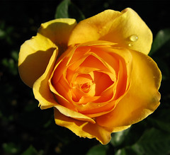 Yellow Rose with droplet (moelynphotos) Tags: flowers roses rose blooms newyorkbotanicgarden wonderfulworldofflowers moelynphotos yellowrosewithdroplet