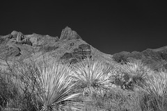 _MG_7851-Edit-1024.jpg (princer7) Tags: road park plants mountain plant mountains nature pine canon landscape ir mexico town us big butte texas desert bend tx united glenn ghost canyon trail study national springs terlingua infrared states nm 1022mm yucca 30d chisos primative sotol 720 720nm sotols