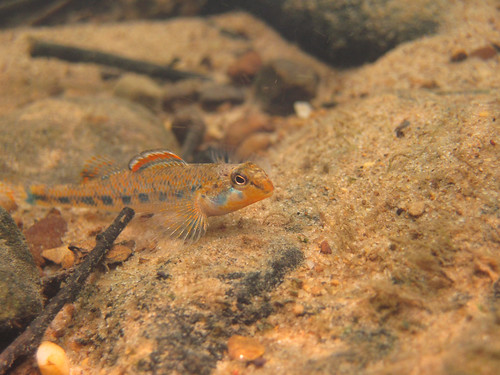 Etheostoma stigmaeum (speckled darter)