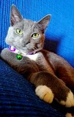 Cat (mikdm1) Tags: green eyes cateyes cat catphotography lovecat kitten graycat