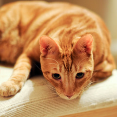 lonely oscar (Apogee Photography) Tags: orange cats cat feline tabby kitty gatos gato stare gingercat nikon50mmf14 d5000 nikonafsnikkor50mmf14g nikond5000