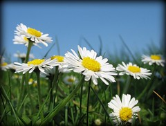 What a wonderful World - Spring Daisies (Batikart ... handicapped ... sorry for no comments) Tags: blue sky white plant flower macro green nature yellow closeup daisies canon germany landscape geotagged deutschland interestingness spring flora europa europe colours stuttgart blossom natur pflanze meadow wiese himmel f100 bluesky explore gelb daisy april geology grn blau blume grassland makro wildflower blte landschaft weiss 2009 blauerhimmel frhling gnseblmchen canonpowershot a610 geologie badenwrttemberg bellisperennis frhjahr swabian hohenheim wildblume canonpowershota610 100faves i500 200faves frhlingsblume viewonblack batikart 100commentgroup 201111