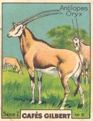 gilb oryx