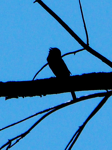 towhee sillouette