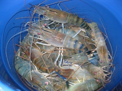 Bucket of prawns