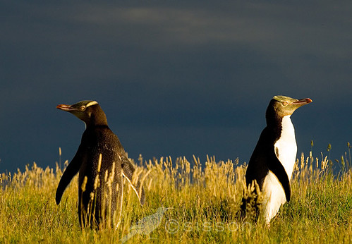 2 Yellow Eyed Penguins - Relationship Councilling anyone???