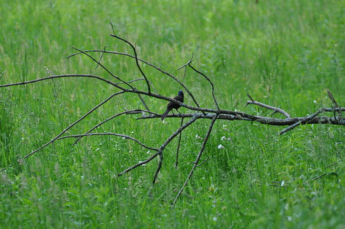 A lone grackle takes a rest from it's dance