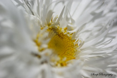 White n yellow (RokShots) Tags: flowers white flower macro nature yellow closeup garden petals dof sony naturesfinest sigma105mm sonyalpha diamondclassphotographer naturewatcher top20everlasting