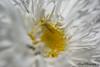 White n yellow (RokShots) Tags: flowers white flower macro nature yellow closeup garden petals dof sony naturesfinest sigma105mm sonyalpha diamondclassphotographer naturewatcher top20everlasting