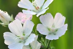 Pale Poppy Mallow (NaturalLight) Tags: park white creek pale poppy kansas mallow prairie wildflower wichita chisholm chisholmcreekpark