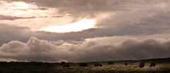 Before the Snow Fell (Robinsegg) Tags: buffalo yellowstonenationalpark wyoming bison timeless forage haydenvalley