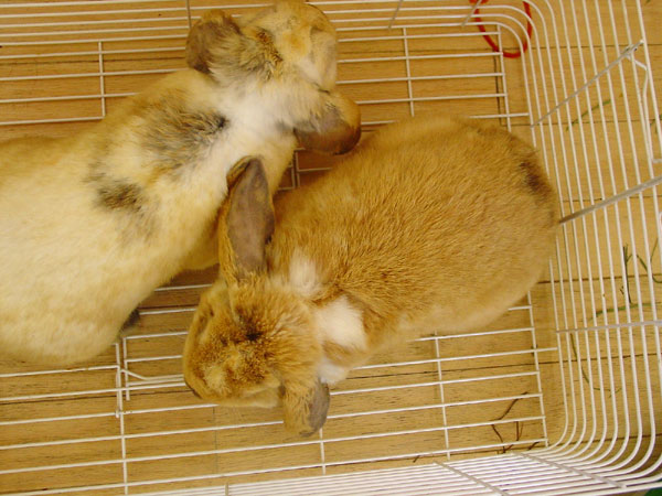 two lop bunnies