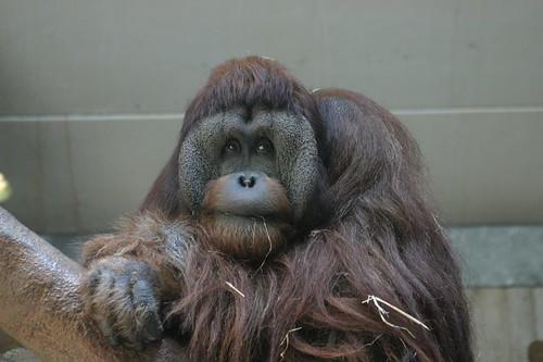 Orangutang...