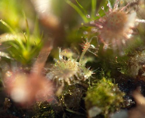 Drosera Lanata x Kenneallyi: Tiny Seedling