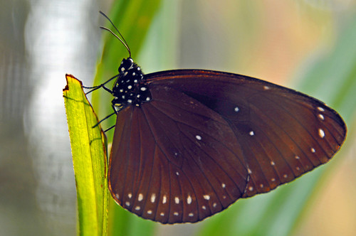 DGJ_4078 - Indian Crow Butterfly