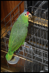 Why does Chewy insist on going into the dishwasher? (cglovesdogs) Tags: chewy parrot redloredamazon featheryfriday