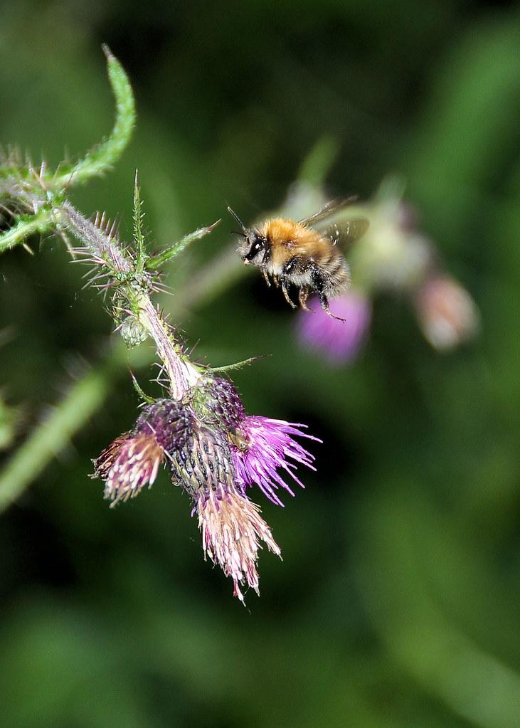 Bee in Flight.