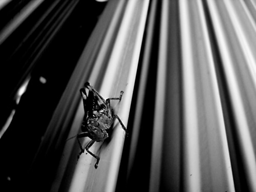 Locust Dimensions