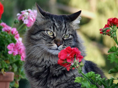 Romantic Cat (Maurizio Carlieri) Tags: red flower nature colors cat heart sensational geranium the of focusbokeh catnipaddicts memorycornerportraits ppn200908 ppf200908