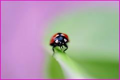 ...I'm hungry... (zio paperino) Tags: macro nature bug insect geotagged 50mm nikon bokeh natura explore frontpage calabria lamezia coccinella raynox d90 ziopaperino mygearandme mygearandmepremium mygearandmesilver mygearandmegold