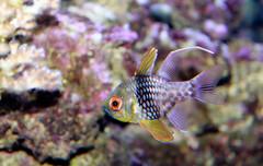 Pajama cardinal fish Sphaeramia nematoptera