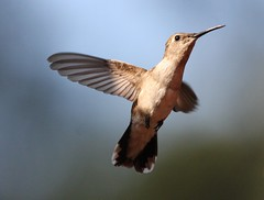 A wave hello (San Diego Shooter) Tags: california wallpaper bird birds hummingbird sandiego hummingbirds desktopwallpaper hummingbirdinflight sandiegodesktopwallpaper