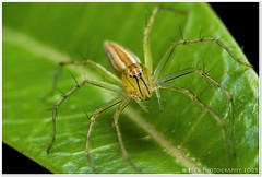 1.7 : 1 Lynx Spider (Beck Yeap) Tags: life park wild macro green eye nature animal closeup fauna canon garden insect spider flora outdoor wildlife wing bugs jungle lynx raynox tamronsp90mmf28macro 400d